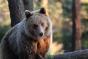 ours assis lors d'un affût en Slovénie